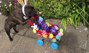 French Bulldog Does Easter Deliveries