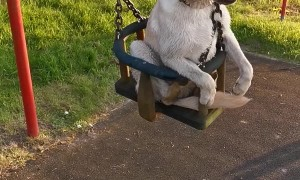 Dog Loves Getting Pushed on the Swings