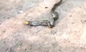 Massive python regurgitates farmer's rooster