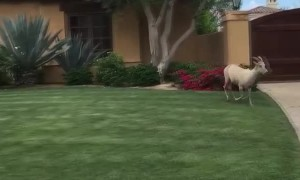 Pool Party for Herd of Bighorn Sheep