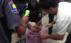 Monkey rescued after getting electrocuted while raiding homes in search for food