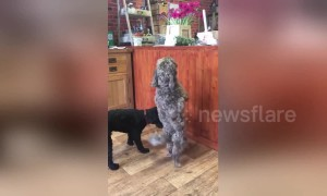 Dog dances the 'Cha-cha-cha' to get treats