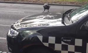 Crow Pecks at Police Car