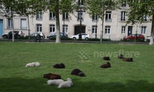 This park in Paris uses sheep instead of lawnmowers