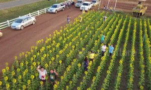 Incredible aerial views of sunflower super bloom in Thailand