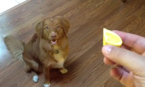 Curious dog is completely blown away by lemon slice