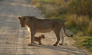 Lioness safely carries her cub across road