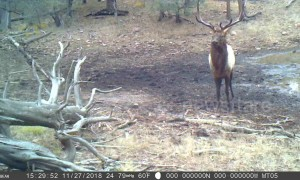 'Dancing' bull elk filmed hopping around watering hole in Arizona forest