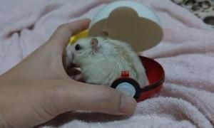 Is Popo a Pokemon?