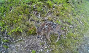 Runners encounter a precious newborn baby deer on a trail
