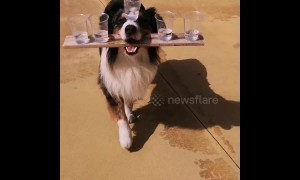 """Your order, sir?"" Dog balances five glasses of water while walking straight ahead"