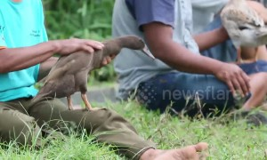 Shocking duck-race training in West Sumatra