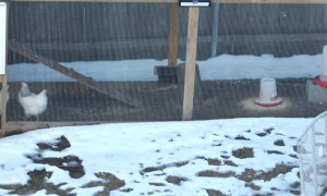 Chickens Chase Laser Pointer
