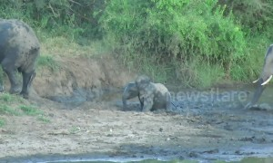 Young elephant falls face-first into the mud while struggling through slippery crossing