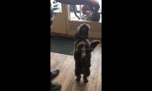 'Dancing' Cockoapoo shows off 'Riverdance' moves on his hind legs