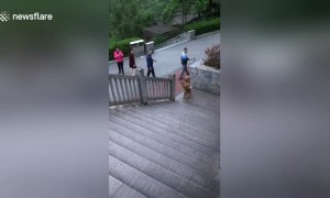 Talented golden retriever walks up stairs on its hind legs to chase his owner