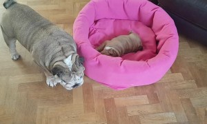 Bulldog mother adorably entertains her newborn puppy