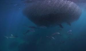 Sharks Feeding on Ball of Baitfish