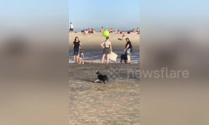 US dog backflips over and over while head-butting a beach ball