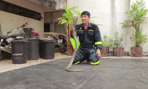 Brave fireman shows how to catch a cobra with bare hands