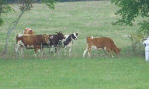 Cows are in the MOOd for Bagpipe Music