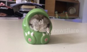 Chubby hamster wiggles into a ceramic dinosaur