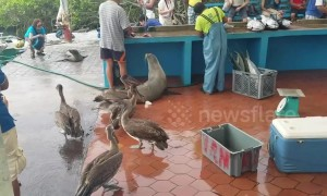 Sea lions, pelicans and iguanas wait in line at fish market on the Galapagos Islands