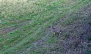 Whitetail Deer Duke It Out