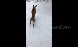 A snowy great time! Dog in Maine dives face first into snow pile