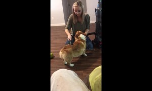 Vacuum cleaning! Corgi loves getting his fur hoovered