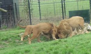 Lion gets head stuck in feeding bin at the zoo