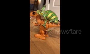 T-Rex taxi: US Chameleon goes for a ride on a walking toy