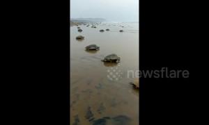 Sea turtles thrown ashore by big waves of Cyclone Fani