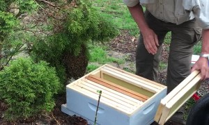Bee Expert Removes Swarm Without Protective Clothing
