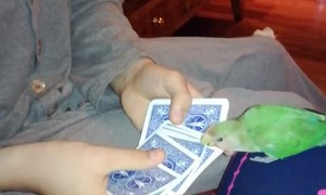 Parrot Picks a Card