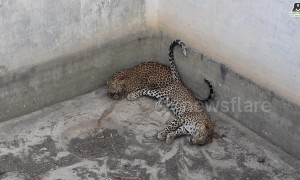 Two young leopards rescued from water tank in India