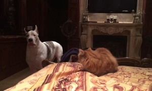 Great Dane barks at cat to get off bed then quickly takes his spot
