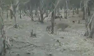 Fearless dog fights a wild lion in India