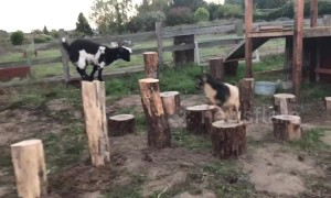 These cute goats are incredibly agile
