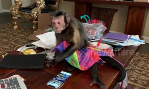Monkey struggles to make sense of smartphone