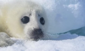 Precious Harp Seal Pup Relaxes in the Snow