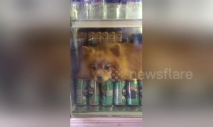 Pomeranian cools off in fridge during heatwave in Thailand