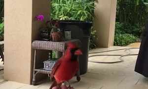 Wild Cardinal Eats Peanut Out of Man's Hand