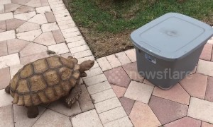 """Out of my way, box!"" Tortoise rams plastic container"