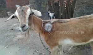 Indian farmer shocked after goat grows bizarre third horn from its shoulder