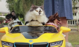 Cool cat drives three chihuahuas around in toy car