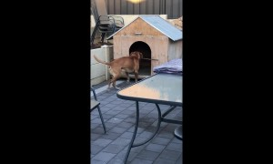 Dopey dog tries to carry stick horizontally into kennel before eventually giving up