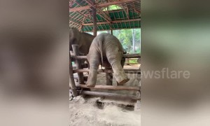 'Adventurous' baby elephant in Thailand gets stuck on sanctuary fence