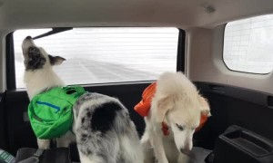 Dog Tries to Get a Taste of Windshield Wiper