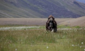 Musk ox makes terrifying false charge against lone hiker in Greenland
